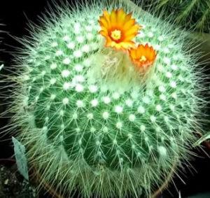 uhazhivat-za-kaktusom